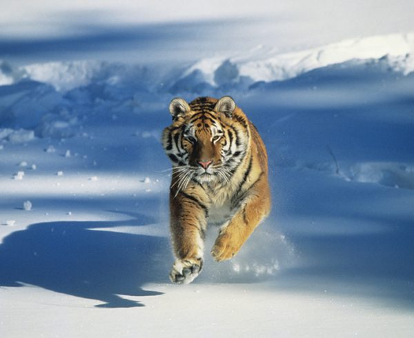Siberian tiger (Panthera tigris altaica) charging through snow